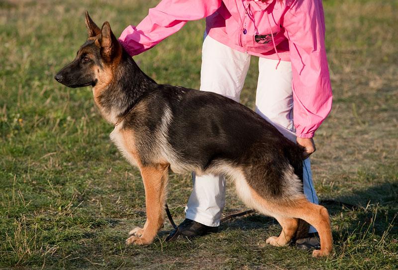 немецкая овчарка r_2009-1531 r_2009-1531