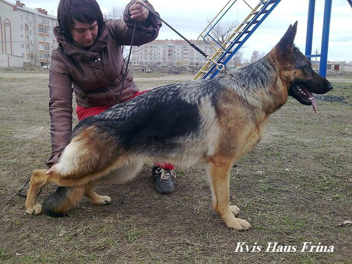 немецкая овчарка frinastojka frinastojka