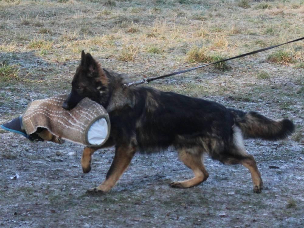 немецкая овчарка фото Веста'с Волкер 7 мес IMG_5292
